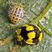 Illeis galbula - Photo (c) Phil Bendle, algunos derechos reservados (CC BY-NC)