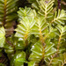 Plagiochila gregaria - Photo Δεν διατηρούνται δικαιώματα