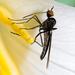 Empididae - Photo (c) Ken-ichi Ueda, algunos derechos reservados (CC BY), uploaded by Ken-ichi Ueda