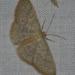 Pleuroprucha - Photo (c) kent_miller, algunos derechos reservados (CC BY-ND), uploaded by Kent Miller