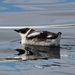 Marbled Murrelet - Photo (c) Tom Benson, some rights reserved (CC BY-NC-ND)