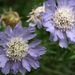 Perennial Scabious - Photo (c) Quinn Dombrowski, some rights reserved (CC BY-SA)