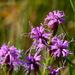 Liatris cylindracea - Photo (c) Joshua Mayer, μερικά δικαιώματα διατηρούνται (CC BY-SA)