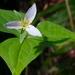 Trillium ovatum - Photo (c) Brent Miller, algunos derechos reservados (CC BY-NC-ND)