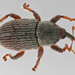Tychius - Photo (c) licensed media from BioImages DwCA without owner, some rights reserved (CC BY-NC-SA)