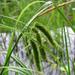 Carex pseudocyperus - Photo (c) Kristian Peters, algunos derechos reservados (CC BY-NC-SA)