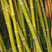Phyllostachys bambusoides - Photo (c) Hectonichus, μερικά δικαιώματα διατηρούνται (CC BY-SA)