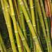 Phyllostachys bambusoides - Photo (c) Hectonichus, algunos derechos reservados (CC BY-SA)