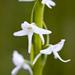 Platanthera dilatata - Photo (c) Ken-ichi Ueda, alguns direitos reservados (CC BY)