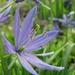 Camassia leichtlinii - Photo (c) Jenn Forman Orth, algunos derechos reservados (CC BY-NC-SA)