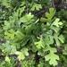Quercus lobata - Photo (c) Liam O'Brien, μερικά δικαιώματα διατηρούνται (CC BY-NC)