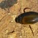Gran Escarabajo Buceador - Photo (c) Bernard DUPONT, algunos derechos reservados (CC BY-NC-SA)