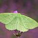 Geometra papilionaria - Photo (c) nutmeg66, μερικά δικαιώματα διατηρούνται (CC BY-NC-ND)