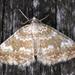 Perizoma flavofasciata - Photo (c) Wildlife in a Dorset garden. Thanks for 150,000 views, algunos derechos reservados (CC BY-NC-SA)