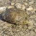 Jicotea del Rio Bravo - Photo (c) cullen, algunos derechos reservados (CC BY-NC), uploaded by Cullen Hanks