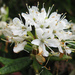 Labrador Tea - Photo (c) Kingsbrae Garden, some rights reserved (CC BY-NC-SA)