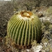 Golden Barrel Cactus - Photo (c) Opuntia Cadereytensis, some rights reserved (CC BY-NC)