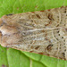 Lunar Underwing - Photo (c) Tony Morris, some rights reserved (CC BY-NC)