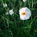 Argemone aurantiaca - Photo (c) gbrucks,  זכויות יוצרים חלקיות (CC BY-NC)