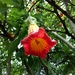 Red Angel's Trumpet - Photo (c) Laura Nathalia Forero, some rights reserved (CC BY-NC)