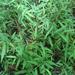 Japanese Stiltgrass - Photo (c) botanygirl, some rights reserved (CC BY), uploaded by botanygirl