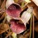 Endodeca serpentaria - Photo (c) Patrick Coin, alguns direitos reservados (CC BY-NC-SA)