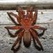 Myrmekiaphila - Photo (c) Annika Lindqvist, algunos derechos reservados (CC BY)