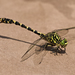 Small Pincertail - Photo (c) Jörg Hempel, some rights reserved (CC BY-SA)