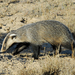 Asian Badger - Photo (c) David Blank, some rights reserved (CC BY-NC-SA)