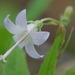 Campanula scouleri - Photo (c) Tab Tannery, algunos derechos reservados (CC BY-NC-SA)