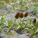 Carex macrocephala - Photo (c) Tab Tannery, algunos derechos reservados (CC BY-NC-SA)