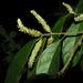Trophis racemosa - Photo (c) Reinaldo Aguilar, osa oikeuksista pidätetään (CC BY-NC-SA)