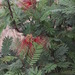 Calliandra houstoniana - Photo (c) carlos2, some rights reserved (CC BY-NC), uploaded by Carlos Galindo-Leal
