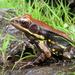 Hydrophylax malabaricus - Photo (c) Vishal Bhave, algunos derechos reservados (CC BY-NC-SA), uploaded by Vishals_Lab