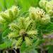 Acanthospermum australe - Photo (c) Mauricio Mercadante, algunos derechos reservados (CC BY-NC-SA)