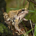 European Common Frog - Photo (c) Jörg Hempel, some rights reserved (CC BY-SA)