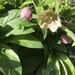 Helleborus orientalis - Photo (c) laurabankey,  זכויות יוצרים חלקיות (CC BY-NC)