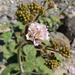 Anulocaulis annulatus - Photo (c) Stan Shebs, alguns direitos reservados (CC BY-SA)