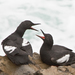Pigeon Guillemot - Photo (c) Mike Baird, some rights reserved (CC BY)