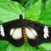 Acraea esebria - Photo (c) Peter Vos,  זכויות יוצרים חלקיות (CC BY-NC)
