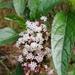Piqueriinae - Photo (c) giopuerto182, algunos derechos reservados (CC BY-NC)