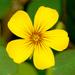 Oxalis spiralis - Photo (c) James Gaither, algunos derechos reservados (CC BY-NC-ND)