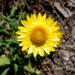 Xerochrysum bracteatum - Photo (c) dracophylla, μερικά δικαιώματα διατηρούνται (CC BY-NC-SA)