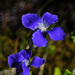 Rocky Mountain Fringed Gentian - Photo (c) Jerry Oldenettel, some rights reserved (CC BY-NC-SA)