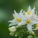 Solanum torvum - Photo (c) Liu JimFood, μερικά δικαιώματα διατηρούνται (CC BY-NC)