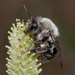 Grey-backed Mining Bee - Photo (c) Jürgen Mangelsdorf, some rights reserved (CC BY-NC-ND)