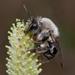 Andrena vaga - Photo (c) Jürgen Mangelsdorf,  זכויות יוצרים חלקיות (CC BY-NC-ND)
