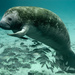 West Indian Manatee - Photo (c) U.S. Fish and Wildlife Service Headquarters, some rights reserved (CC BY)