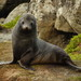 New Zealand Fur Seal - Photo (c) Sid Mosdell, some rights reserved (CC BY)