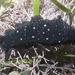 Dendrodoris nigra - Photo (c) Ria Tan,  זכויות יוצרים חלקיות (CC BY-NC-SA)
